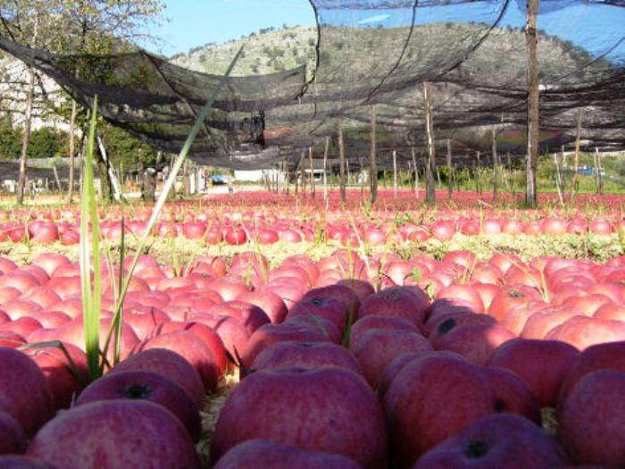 Orto Botanico del Dipartimento di Agraria: con docenti e studenti è protagonista  la mela annurca