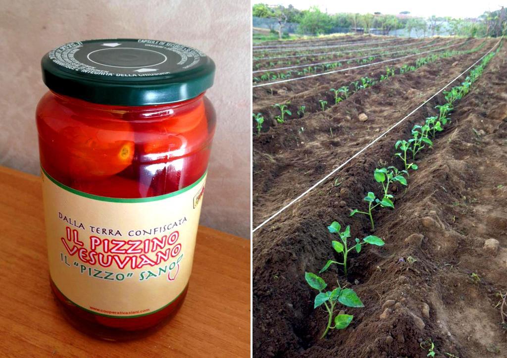 """Dall'eroina non nasce niente, dai terreni confiscati alla camorra nascono i """"pizzini vesuviani"""": i buccaccielli del pomodorino del piennolo"""