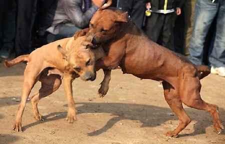 Combattimenti tra cani, corse clandestine di cavalli, pesca di frodo, traffico di fauna selvatica, tratta di cuccioli: sono questi i crimini contro gli animali gestiti dalla criminalità in Campania che emergono dal Rapporto Zoomafia 2016 redatto daLLA LAV