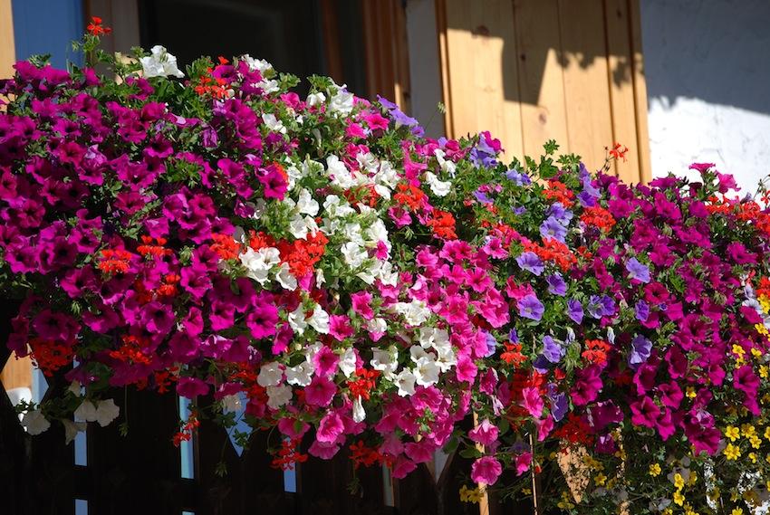 Portici è mille colori – Un premio per il balcone fiorito più bello ...