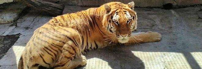 È morta Kashmir, la tigre dello zoo di Napoli: «Costretta in una gabbia piccolissima, era sopravvissuta anche senza pasti»