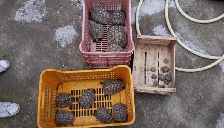 Sequestrate 31 tartarughe a Pomigliano d'Arco:denunciato il detentore che tentava di venderle all'ingresso di un centro commerciale