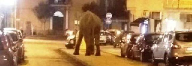 Elefante fugge dal circo e va a spasso in centro aSan Giorgio a Cremano