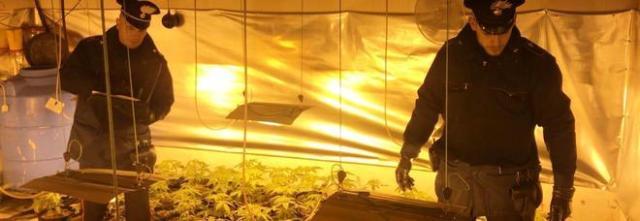 Una serra in casa per la marijuana: arrestati due spacciatori coltivatoria Somma Vesuviana