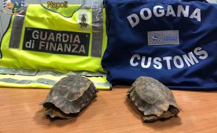 Sequestrate tartarughe specie protetta: in aeroporto. Provenivano dal Ghana, GdF denunciato un ivoriano