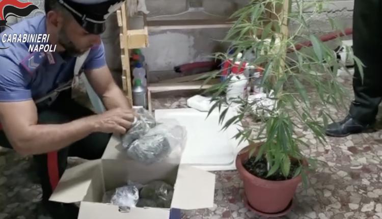 A Somma Vesuvina i carabinieri scovano una serra con 44 piante di cannabis in un immobile