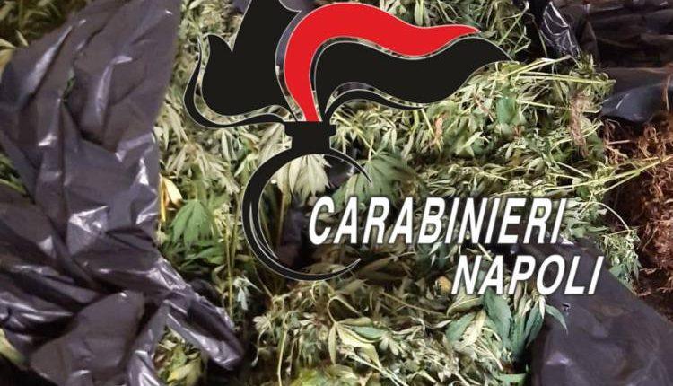 Sequestrati 42 kg di marijuana e 115 piante di cannabis a Cimitile