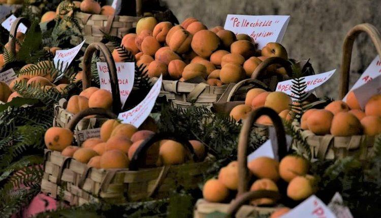 Nasce il Presidio Slow Food dell'Albicocca del Vesuvio: la presentazione martedì 11 luglio a San Sebastiano al Vesuvio
