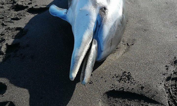 Un delfino è stato ritrovato sulle spiagge del lido Mappatella a Torre Annunziata