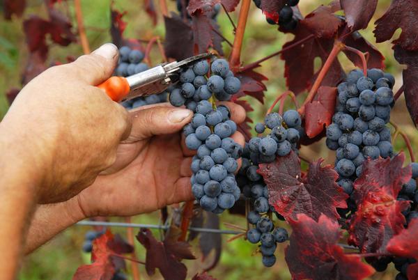 OCM Vino 2018: in arrivo finanziamenti per i produttori vitivinicoli