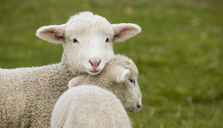 LA SVOLTA DI PASQUA –Niente agnelli e capretti nelle macellerie. L'ordinanza di Roberta Gaeta al Comune di Napoli