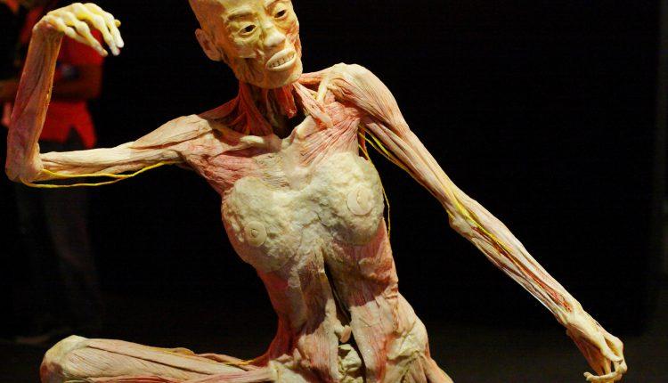 """Il ciclo della nostra vita in mostra: un viaggio dentro il corpo umano  dal 24 marzo 2018 – 24 giugno 2018 a Città della Scienza è di scena """"HUMAN BODIES""""The Exhibition"""