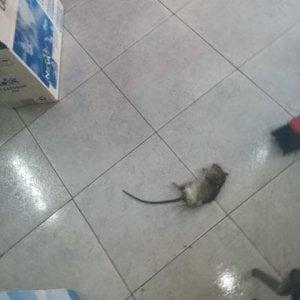 Volla: trovato un topo morto nella scuola San Giovanni Bosco, la denuncia delconsigliere regionale dei Verdi Francesco Emilio Borrelli, su segnalazione di Pasquale Langellagenitore di due bambini che frequentano la scuola